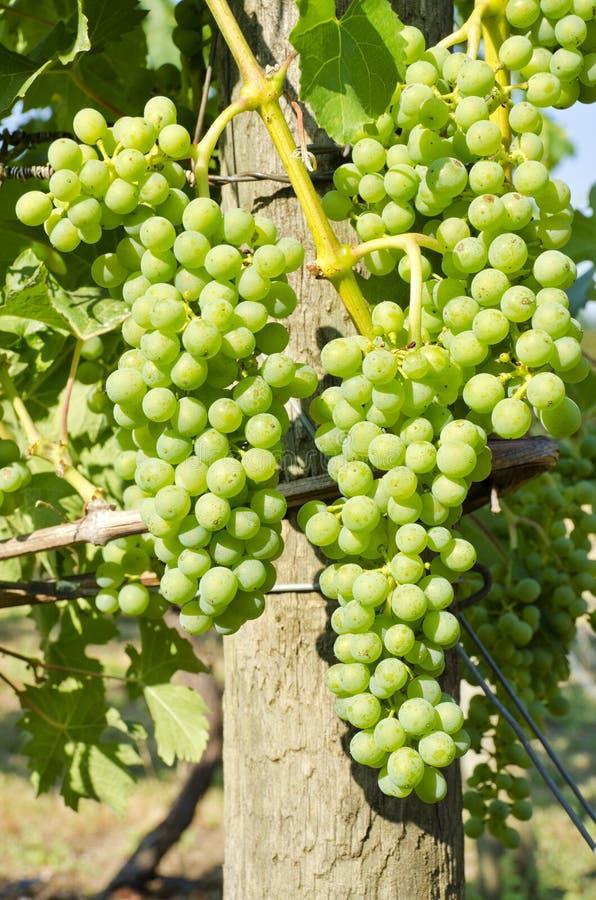winogrona zielenieją dojrzenie winogradu obraz stock