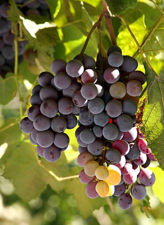 winogrono dojrzały zdjęcie stock