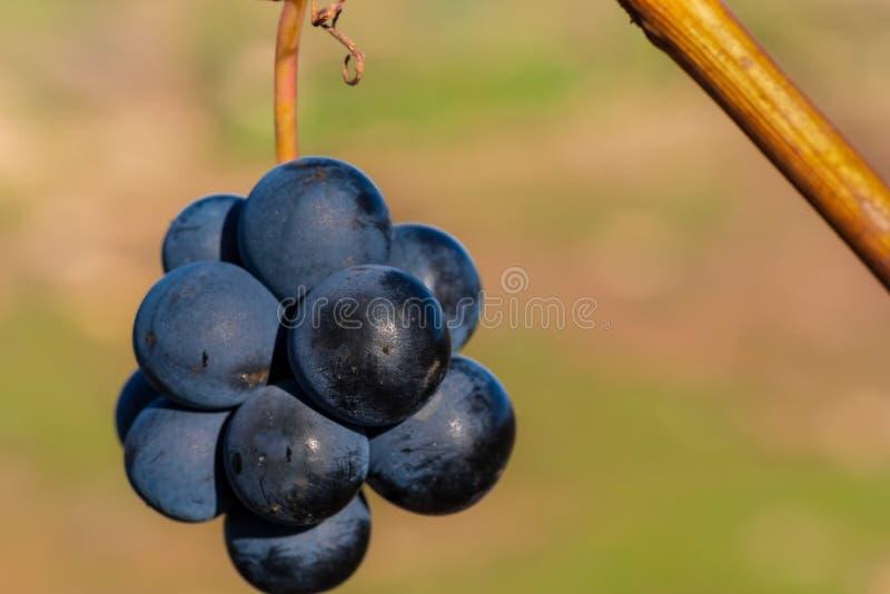 Winogrono w opóźnionym jesieni obwieszeniu w słońcu obrazy stock