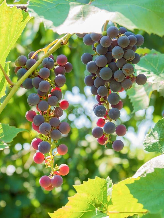 Winogrono wiązki czernią Caucasus słońca jagod ulistnienia stołowego wino zdjęcia royalty free