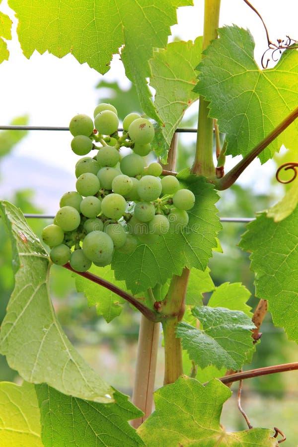 winogrono winnica zdjęcie royalty free