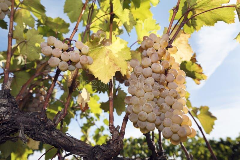 Winogrono winnica Zbiera winogradu bursztyn Rkatsiteli zdjęcia stock