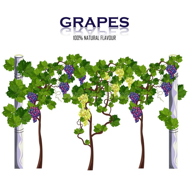 Winogrono winograd odizolowywający na białym wektorze Rosnąć żniwa ilustracji