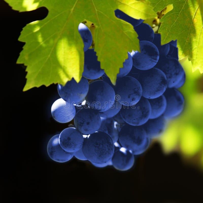 winogrono winogrady obrazy royalty free