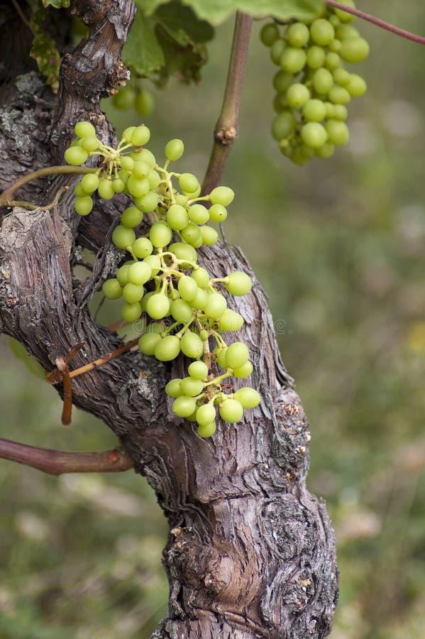 winogrono zieleń zdjęcia stock