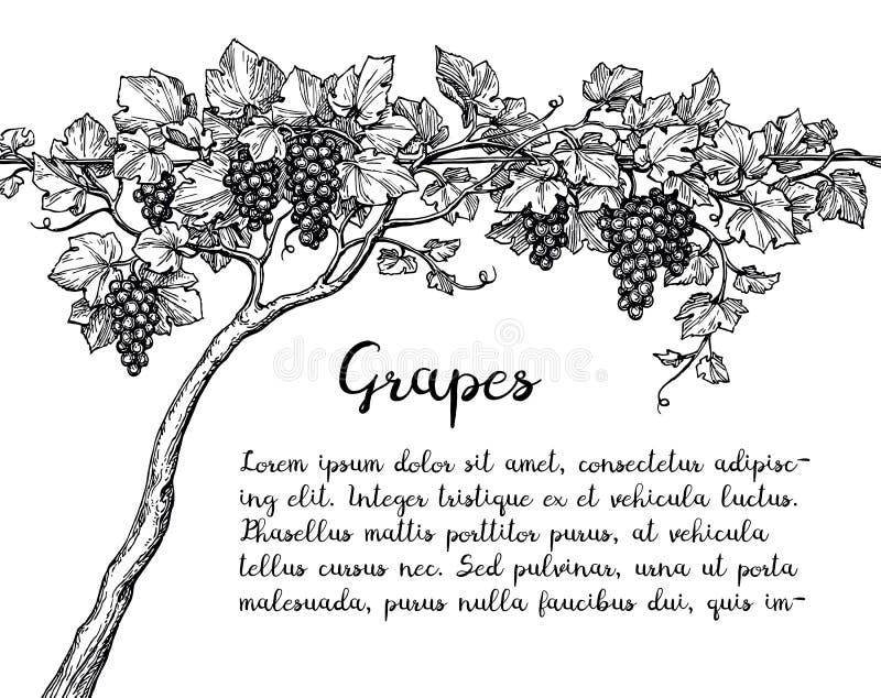 Winorośl atramentu nakreślenie royalty ilustracja