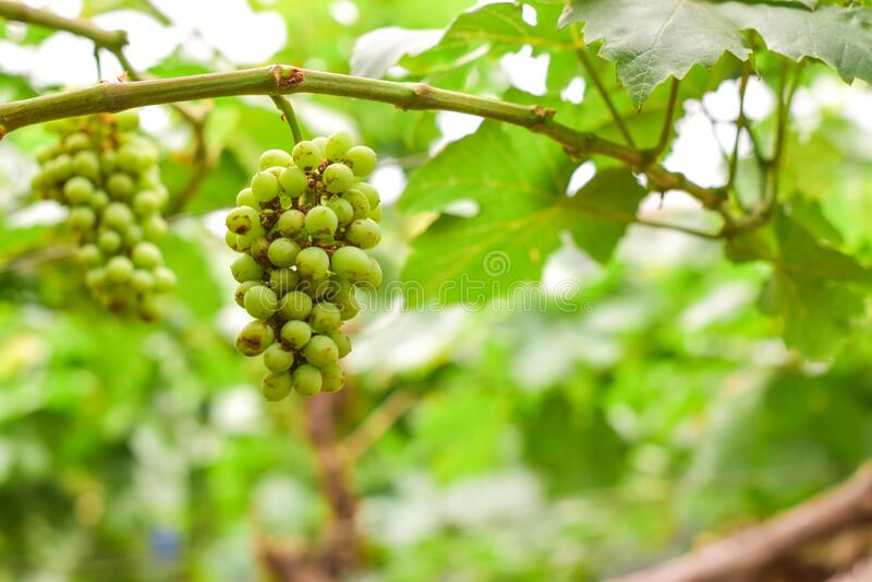 Winorośl i grono zielonych winogron zdjęcia royalty free