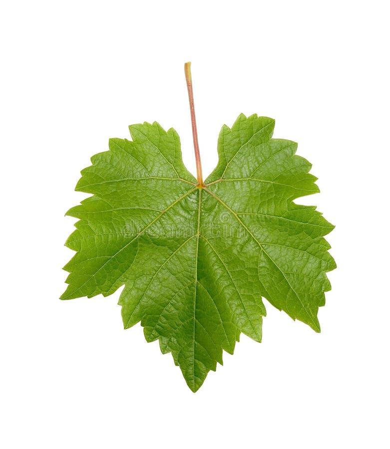 winorośl liść obraz stock