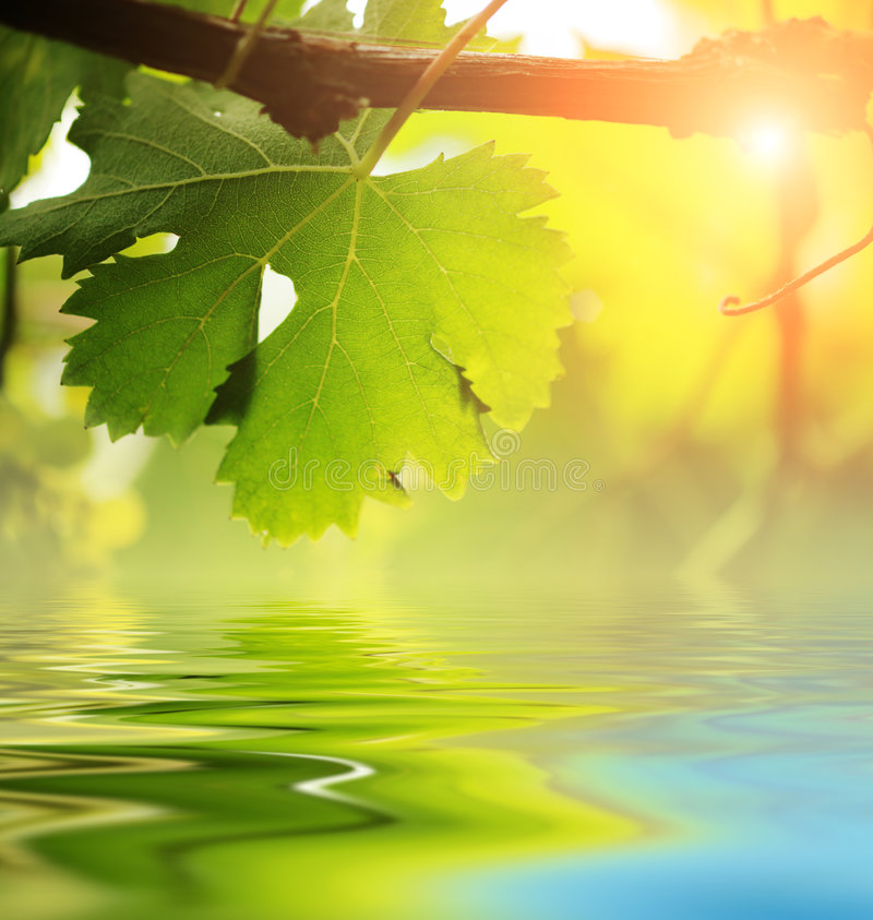 winorośl liść nad wodą zdjęcie royalty free