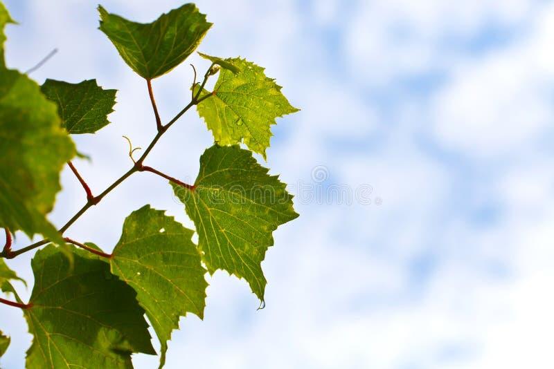 Winorośl Opuszczać Niebieskie Niebo fotografia stock