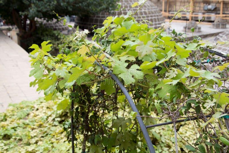 Winorośl opuszcza plenerowego światła słonecznego zbliżenie zdjęcia stock