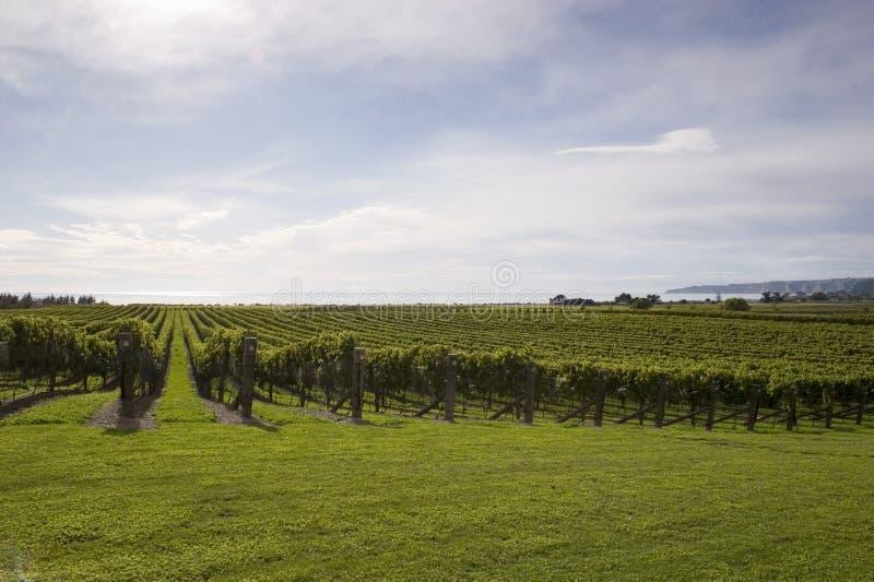 winorośle fotografia stock