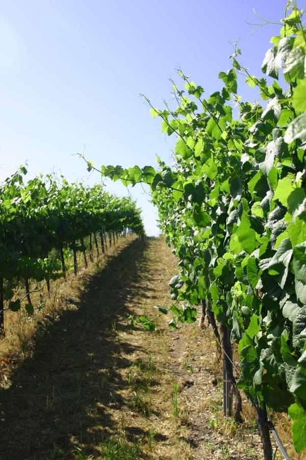winorośli obrazy stock