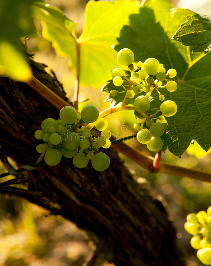 winorośli wiosna fotografia royalty free