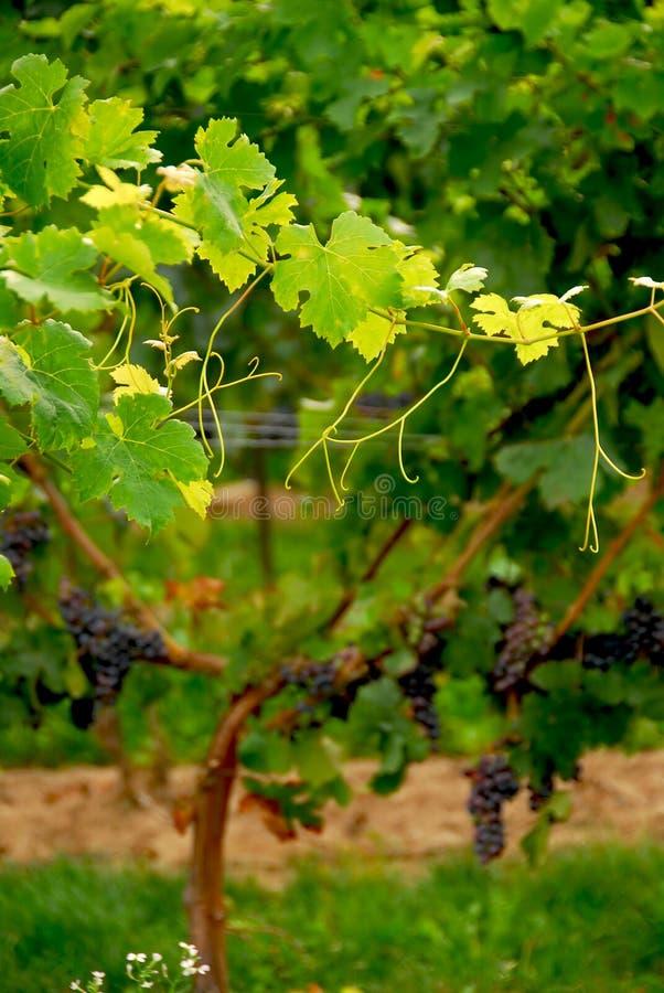 winorośli z winogron obraz royalty free