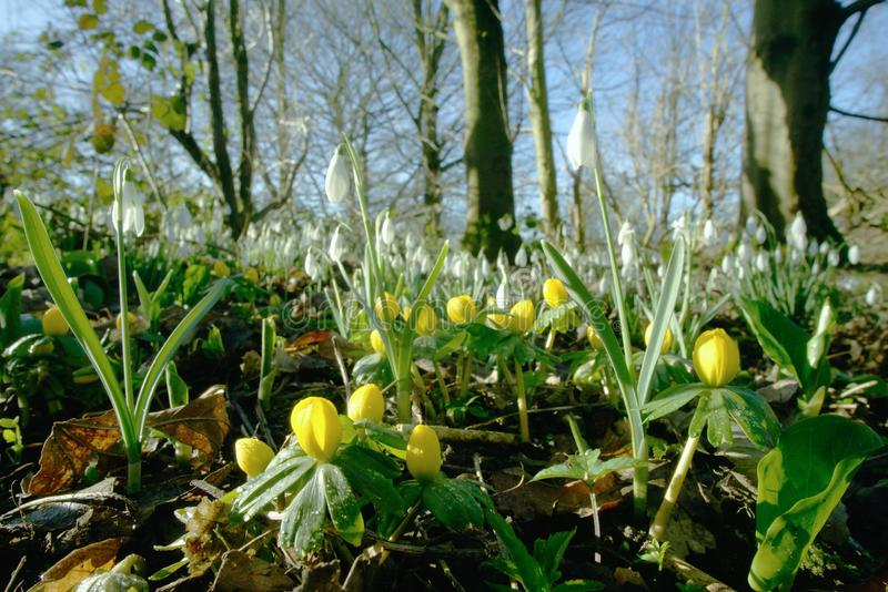 Winter aconites with snowdrops. royalty free stock photography