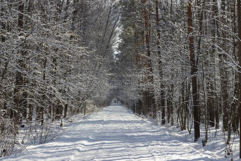 Winter alley in the forest royalty free stock image