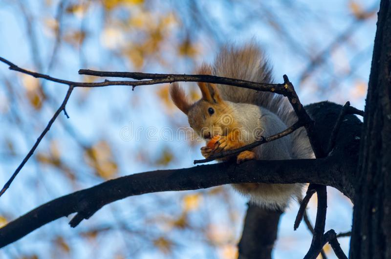 Winter animals: red squirrel, grey winter coat, eating on a tree branch stock photo