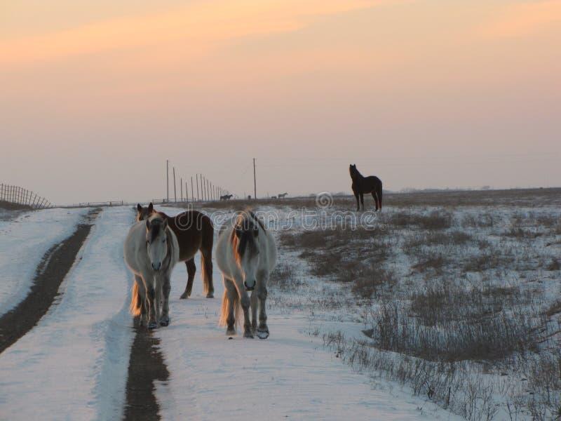 Winter-Antrieb durch die wilden Mustangs stockfoto