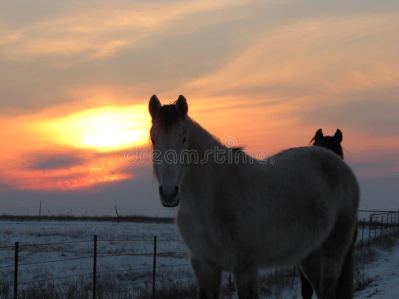 Winter-Antrieb durch die wilden Mustangs stockbilder