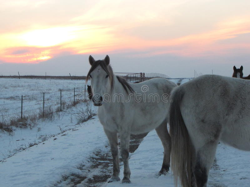 Winter-Antrieb durch die wilden Mustangs stockfotos