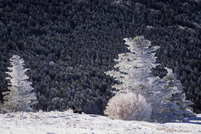 Winter Appalachian Trail Hike 2. Snow-covered fraser fir trees at the top of Round Bald in the Roan Highlands along the Appalachian Trail royalty free stock photos