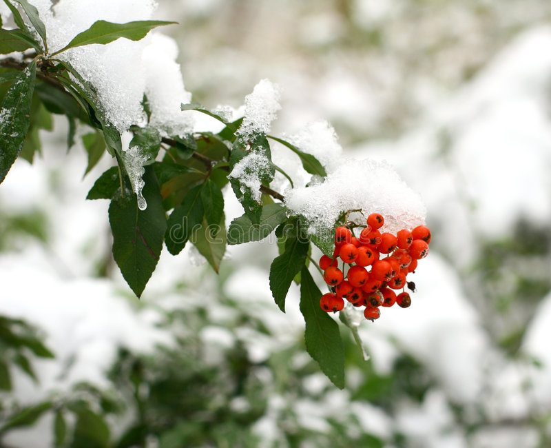 Winter ashberry royalty free stock photos