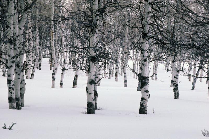 Winter aspens royalty free stock photos