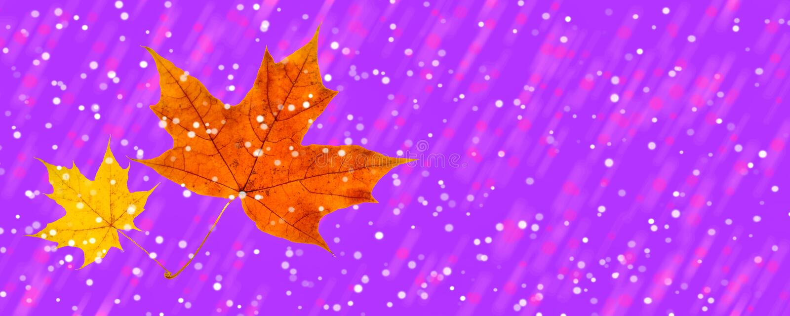 Winter and autumn met two maple leaves on a proton purple background plastic pink bokeh. Modern design royalty free stock image