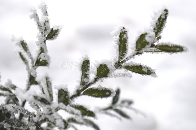Winter background with frosty boxwood. Evergreen boxwood bushes under snow on a snowy background. Boxwood leaves in the snow royalty free stock images
