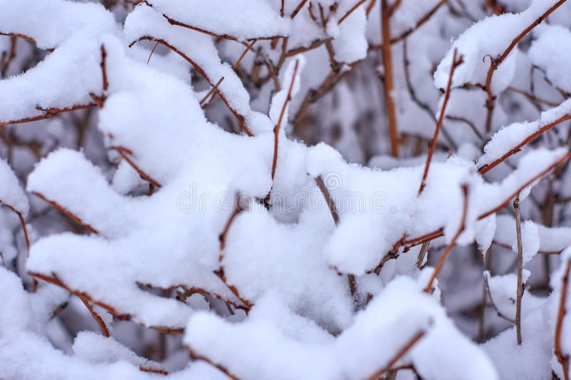 Winter background with a frosty bush stock image