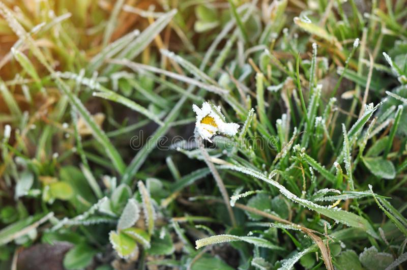 A fragile Daisy flower covered with ice. Winter background of frosty green grass in sun rays stock images