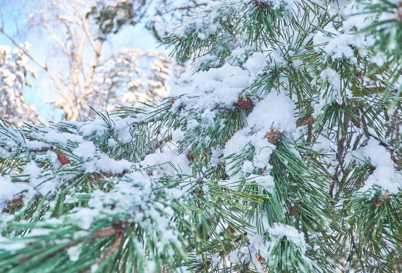 Winter background with pine tree branch covered with snow. royalty free stock photos