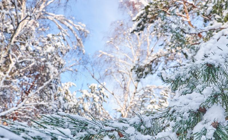 Winter background with pine tree branch covered with snow. stock photos