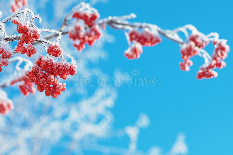 Winter background with rowan in hoarfrost. Mountain ash clusters in hoarfrost against the blue sky stock image