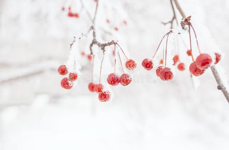 Winter background. Snow-covered branch of wild apple tree with s stock photo