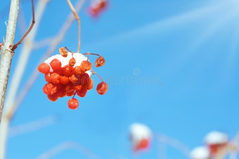 Winter background with red viburnum berries against the blue sky with sunlight royalty free stock photos