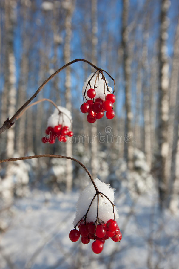 Download Winter berries stock image. Image of object, beautiful - 17812559