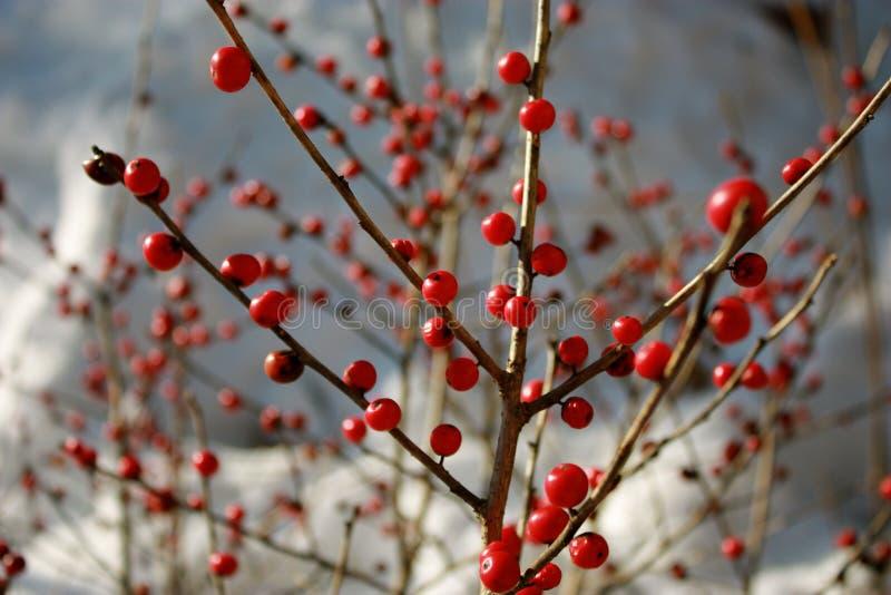 Winter berries royalty free stock image