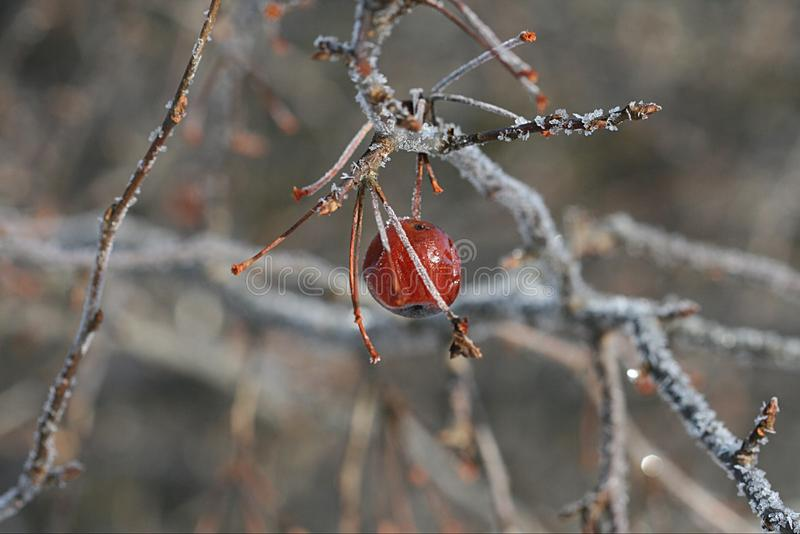 Winter berry on branch royalty free stock photo