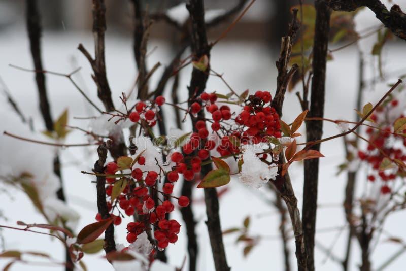 Winter Berry Bush royalty free stock photos