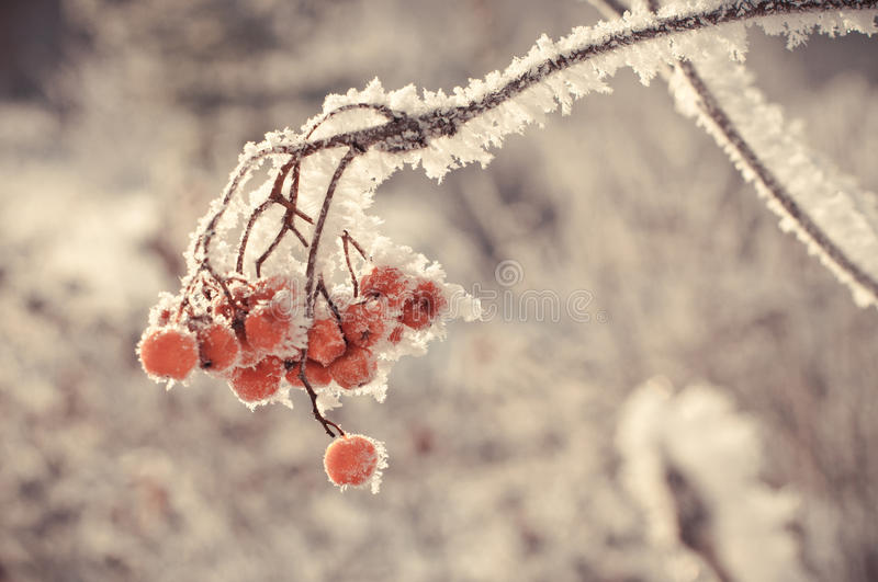 Winter berry. Bush of a red mountain ash in an ice coverlet stock photo