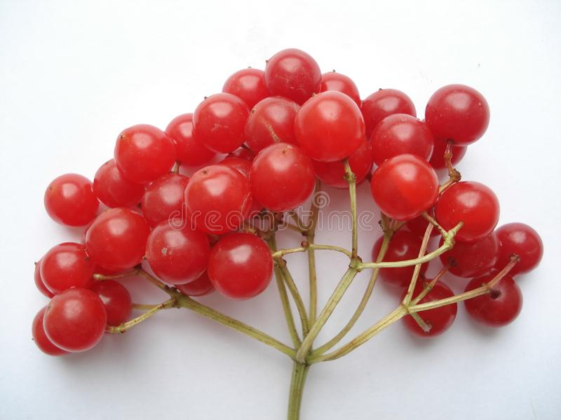 Winter berry. Red viburnum on a white background. The branch of the viburnum. stock photography