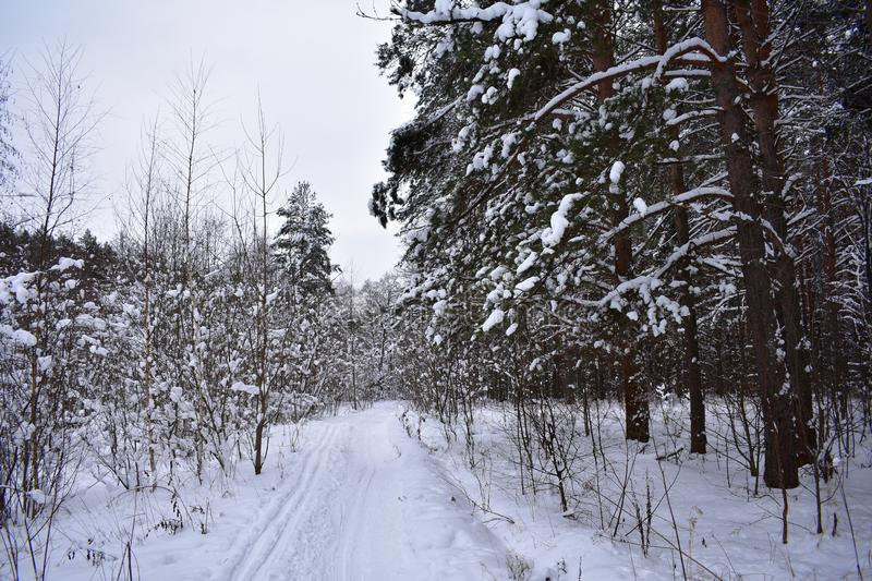 In winter, bewitched, forest stands, And under the snow fringe, motionless, nemoy, Wonderful life he shines royalty free stock photos