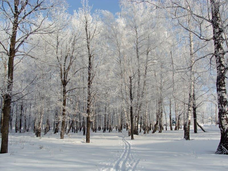 Winter birch grove stock photo