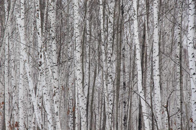 Winter birch grove in the snow / Birch tree trunks in the forest / stock photos