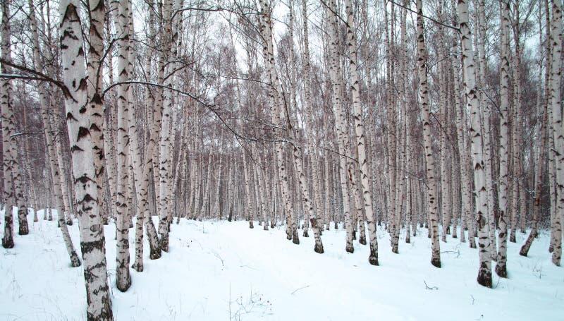 A winter birch tree forest stock photos