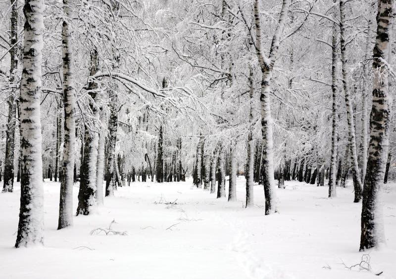 Winter birch trees in spring april day stock image