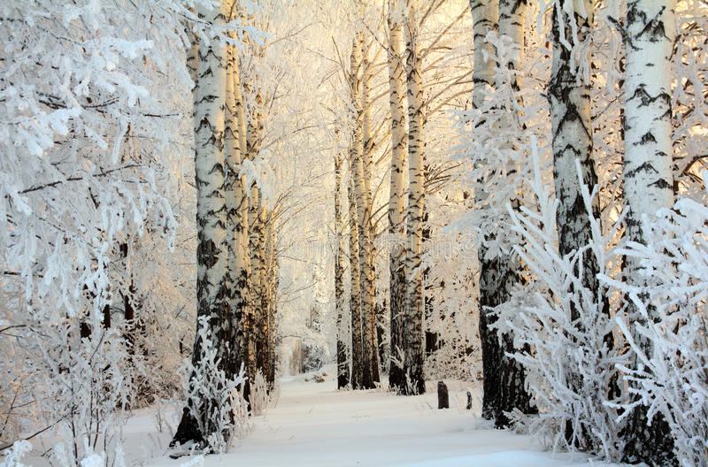 Winter birch woods in morning light royalty free stock photography