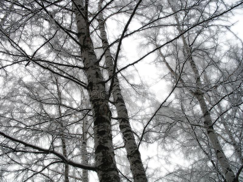 Winter birches stock images